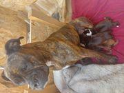 Bulldoggen x Boxer