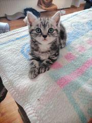 Süßen BKH Kitten