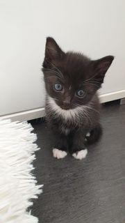 Katzenbaby Kitten - weiblich