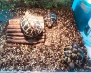 Drei griechische Landschildkröten