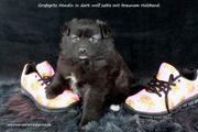 Spitzhündinnenwelpen darkwolfsable