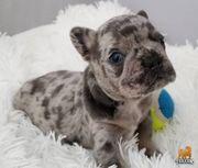 Französische Bulldogge Welpen Blau AT