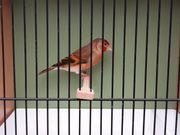 Stieglitz x Kanarienvogel Hahn