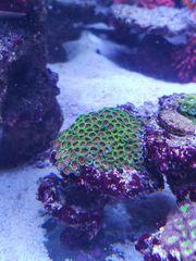 Krustenanemone zoas Meerwasser Korallen Ableger