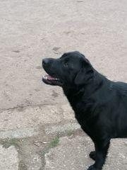 Labrador Rüde fast 2 Jahre