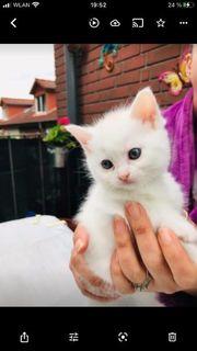 Britisch Kurzhaar-Maine Coon Kitten zu
