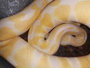 1 0 Lavender Albino 100