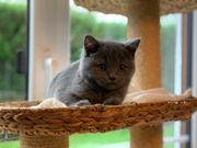 BKH Kitten Britisch kurzhaar in