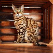 Wunderschöne Bengalkatze reinrassig