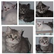 Britisch Kurzhaar kitten Katze bkh