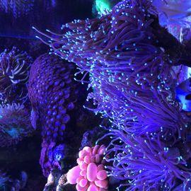 Euphyllia Anemone goniopora Meerwasser Korallen: Kleinanzeigen aus Bischofsheim - Rubrik Fische, Aquaristik
