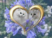 Katzen -Babysin der Farbe chinchilla