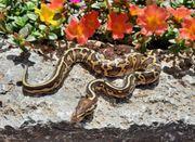 königspython python regius Leopard Lesser