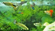 Guppys Süßwasserzierfische für Anfänger zu