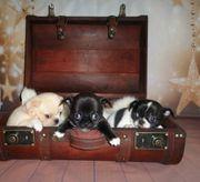 4 Reinrassige Langhaar Chihuahua Welpen