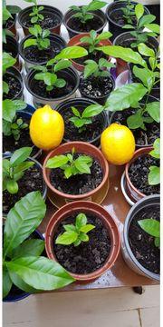 Ich verkaufe schöne Zitronenbäume für