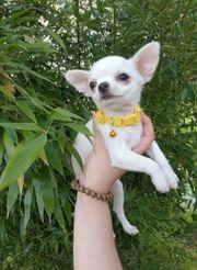 Mini Chihuahua Mädchen mit Ahnentafel