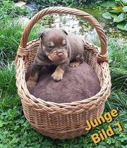 OEB Old English Bulldog Welpen