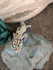 Leopardgecko Weibchen eventuell mit terrarium
