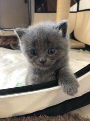 BKH Kitten ab Mitte Ende