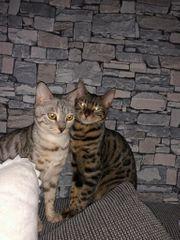 Bengal Katzen