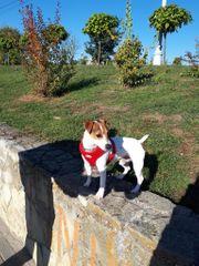 Jack Russel Terrier Deckrüden