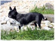 Chihuahua Hündin - kurzhaar - kastriert