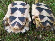 Breitrandschildkröten Paar 8 Jährig Männlich