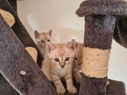 Kitten aus US-Linien geplant einmalige