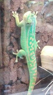 Phelsuma Guimbeaui Mauritius Taggecko
