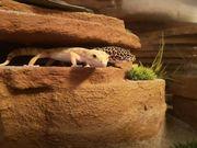 Leopardgecko Pärchen mit spitzen Terrarium
