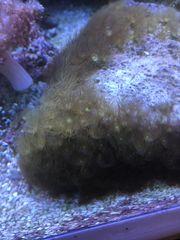 Parazoanthus gelb gelbe Krustenanemone Meerwasser