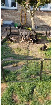 Welpen GSS Großer Schweizer Sennenhund
