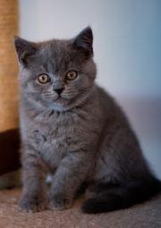 Süße BKH-Kitten