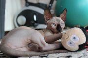 Elf und Canadian Sphynx Kitten