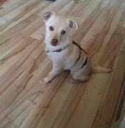 Welpe Chihuahua Mix sucht ein