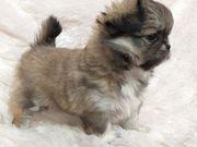Wunderschönes Chihuahua Mädchen mit Abstammungsnachweis