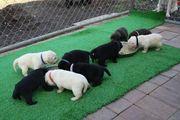 Süße Labradorwelpen aus HD-ED-PL- und