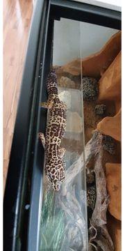 leopardengecko