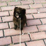 Pomeranian Spitz Teddy Welpe