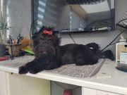 Seltene reinrassige schwarze Yorkshire Terrier