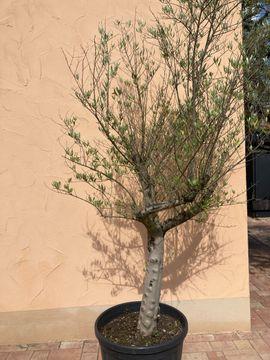 Pflanzen - Olivenbaum mit dicken Stamm Höhe