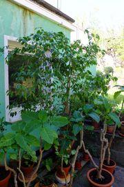 Ficus Benjamina Birkenfeige