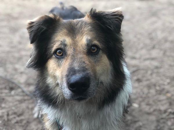 Archie sucht ein hundeerfahrenes Zuhause