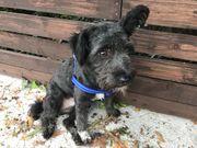 Tibet-Pulli-Terrier Mix - Rüde auf Pflegestelle